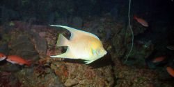 Blue angelfish (Holacanthus bermudensis). Photo