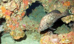 A marbled grouper (Epinephelus inermis). Photo