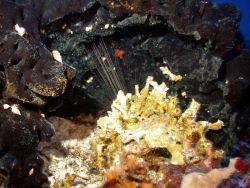 A large black sponge with sea urchin spines and yellow encrustation in foreground. Photo
