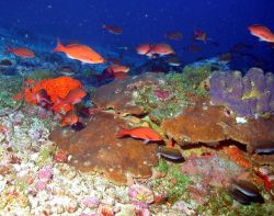 A school of creole-fish (Paranthias furcifer) cruise over MacGrail Bank. Photo