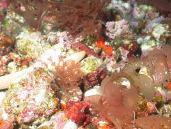 Rhodophyta algae with large brown and white sea cucumber. Photo