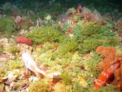 Squirrelfish and algae, particularly Codium repens. Photo