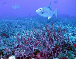 Triggerfish. Photo