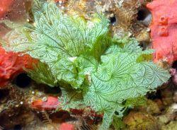 The stunning leafy green algae (Anadyomene lacerata). Photo