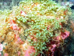 Green grape algae (Caulerpa cavernosa). Photo
