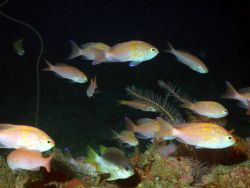 A school of fish -roughtongue bass (Pronotogrammus martinicensis) . Photo