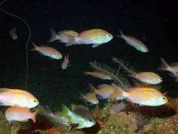 A school of fish -roughtongue bass (Pronotogrammus martinicensis) . Photo