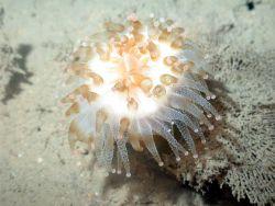 A large sea anemone Photo