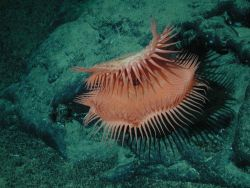 An unidentified cnidarian that resembles a Venus flytrap from the family Hormathiidae. Photo
