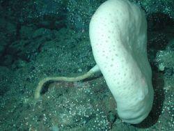 White mushroom sponge (Caulophacus sp.) Photo