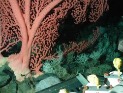 Bubblegum coral (Paragorgia arborea). Photo