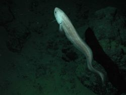 Giant cusk eel (Spectrunculus grandis); approximately 60 cm total length; at 2677 meters depth. Photo