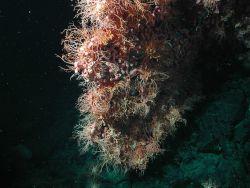 Bubblegum coral (Paragorgia arborea) with basket stars (Gorgonocephalus eucnemis ). Photo