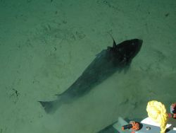 Pacific flatnose (codling) (Antimora microlepis) at 2802 meters. Photo