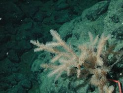 Black coral (Antipathes sp.) at 1520 meters water depth. Photo