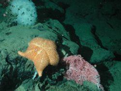 Thorny sea star (Hippasteria californica); small pink coral (Corallium sp.); and white ruffle sponge (Farrea sp.) at 1356 meters water depth. Photo