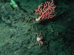 Bubblegum coral (Paragorgia arborea). Photo