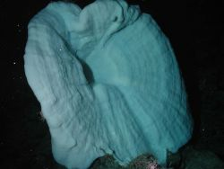 White trumpet sponge at 1572 meters water depth. Photo