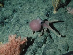 Orange bushy coral (Trissopathes sp.) and octopus (Graneledone boreopacifica) at 1973 meters water depth. Photo