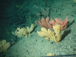 Gold coral (Acanthogorgia) and bottle-bushy coral (unidentified black coral) on the Davidson Seamount at 1957 meters depth. Photo