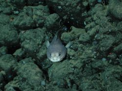 A blob sculpin (Psychrolutes phrictus). Photo
