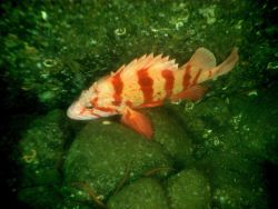 Tiger rockfish (Sebastes nigrocinctus) Photo