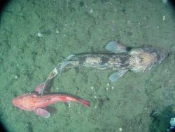 A lingcod and vermilion rockfish. Photo