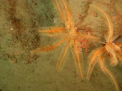 The crinoid Florometra serratissima Photo