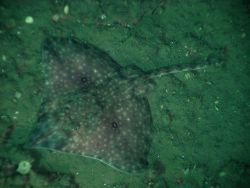 A long-nose skate. Photo