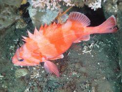 Redbanded rockfish (Sebastes babcocki) Photo