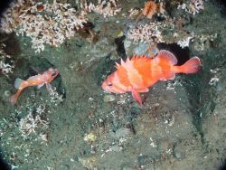 Rosethorn and Redbanded rockfish at the base of the