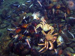 Enormous numbers of crabs were seen in the Mussel Ridge vent area often fighting over their next meal Photo