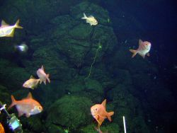Among the cracks of the pillow lavas and above them were numerous fish - bluenose, roughy, and alfonsino Photo