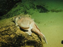 A goosefish (Sladenia remiger) sits on a rock in a submarine canyon Photo