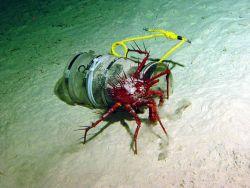 Crab (Neolithodes sp.) investigating a scavenger trap. Photo