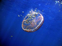 Aurelia aurita jellyfish Photo