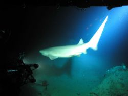 Six-gill shark Photo