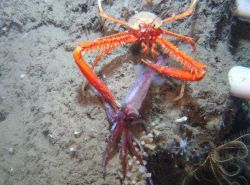 The galatheoid crab Eumunida picta catches and consumes a squid. Photo