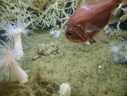 Atlantic roughy Hoplostethus occidentalis at the base of a large Leiopathes glabberima black coral colony Photo