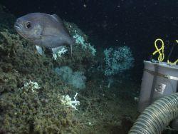 Hyperoglyphe perciformis (barrel fish) in Lophelia reef habitat Photo
