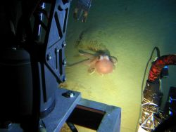 The Pisces IV submersible encounters a brightly colored octopus near a hydrothermal vent area at Monowai caldera at about 1050 meters. Photo