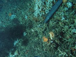 Lophelia coral, a large orange anemone and many small anemones, at least four galatheid crabs, a few urchins, and the large conger eel Conger oceanicu Photo