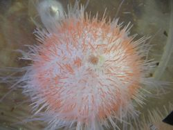 A beautiful sea urchin Photo
