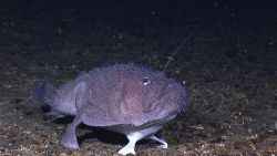 A goosefish perched on the bottom. Photo
