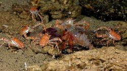 Galatheid crabs and a large shrimp feast opportunistically on a pelagic catch Photo
