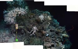 A forward looking mosaic of the coral community at Marker F at 550m depth, including colonies of the white scleractinian coral Lophelia pertusa, whip  Photo