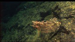 Candidella with brittle star Photo