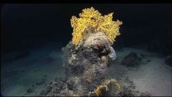 A boulder crowned with a golden stony coral (Scleratinia) Enallopsammia rostrata at 1485 meters depth on Yakutat Seamount. Photo