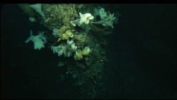 A beautiful assemblage of white sponges on a vertical rock face. Photo