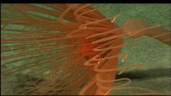A beautiful red stalked hydroid apparently bent in a strong current. Photo